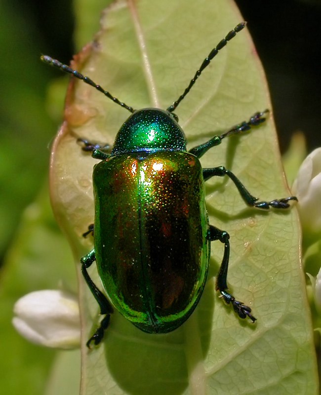 Beetle above is approximately 1cm in length